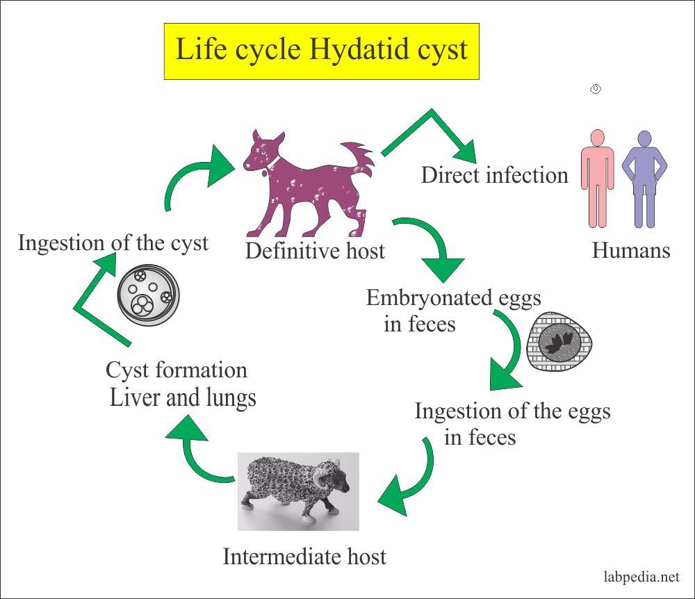 Hydatid cyst life cycle