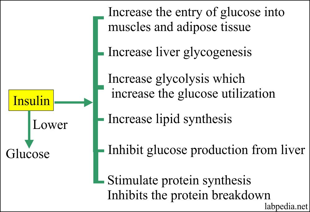 Insulin Effect on the body metabolism