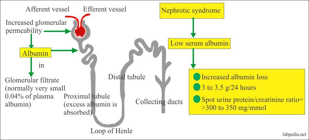 Albumin excretion in the nephrotic syndrome