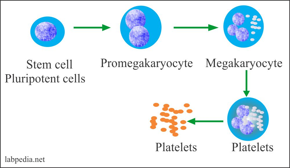 Platelets formation