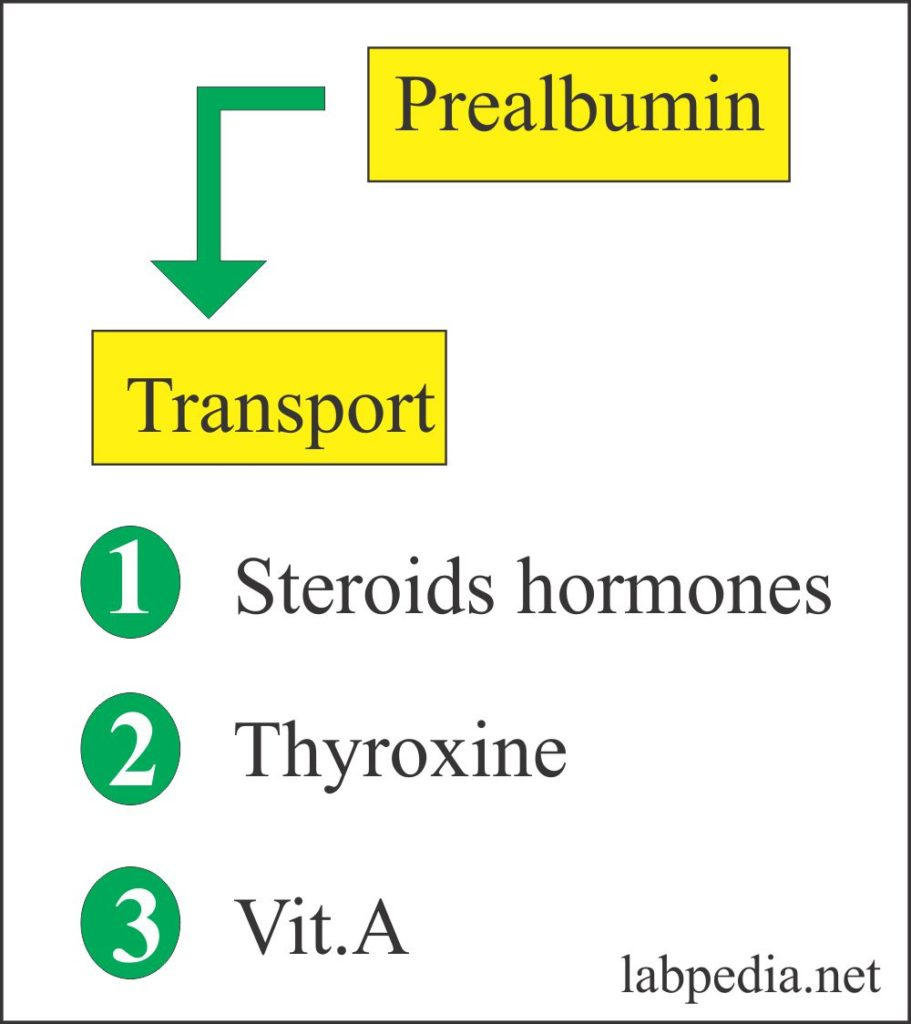Prealbumin,  Thyroxine binding prealbumin (TBPA),