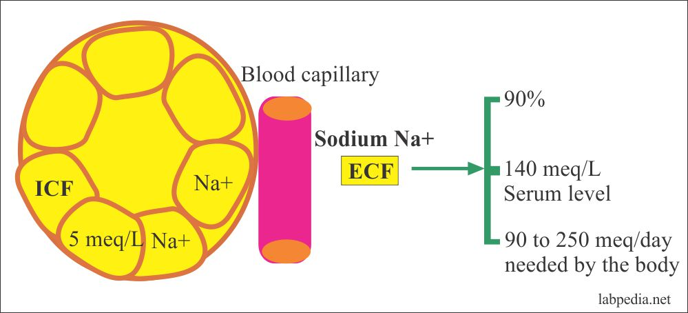 Sodium in the extracellular space
