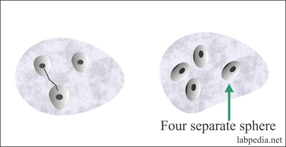 Stool polymorhonulear leucocyte
