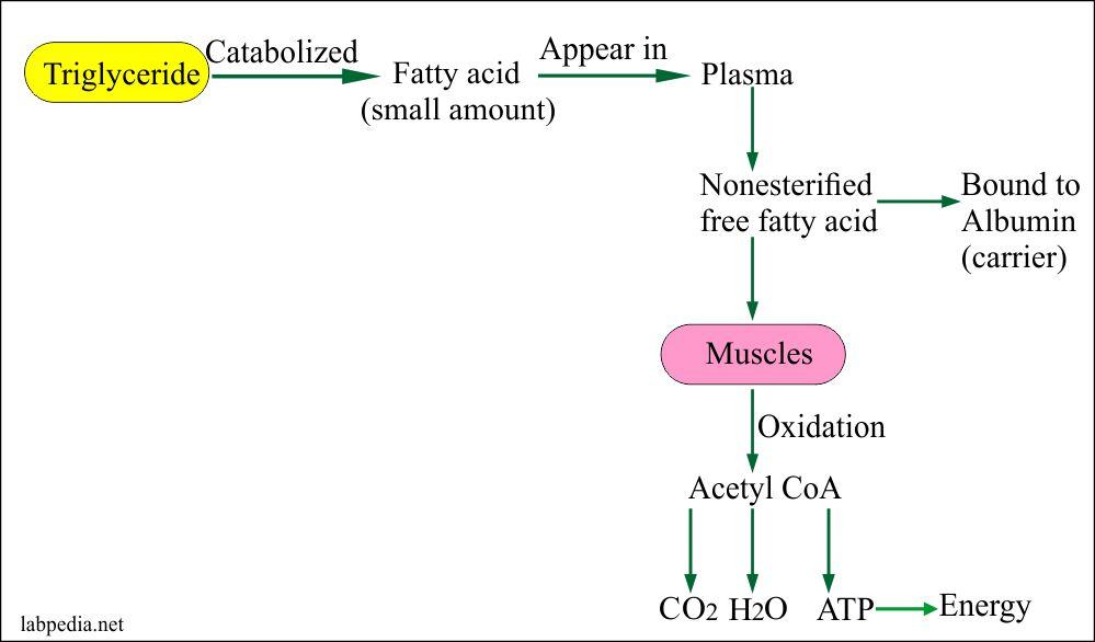 Triglycerides catabolism