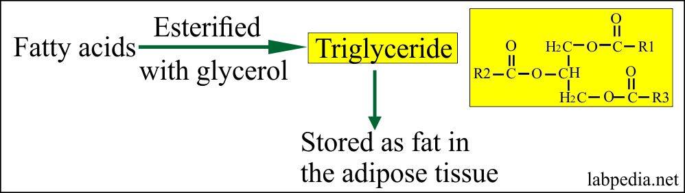Fate of Triglycerides