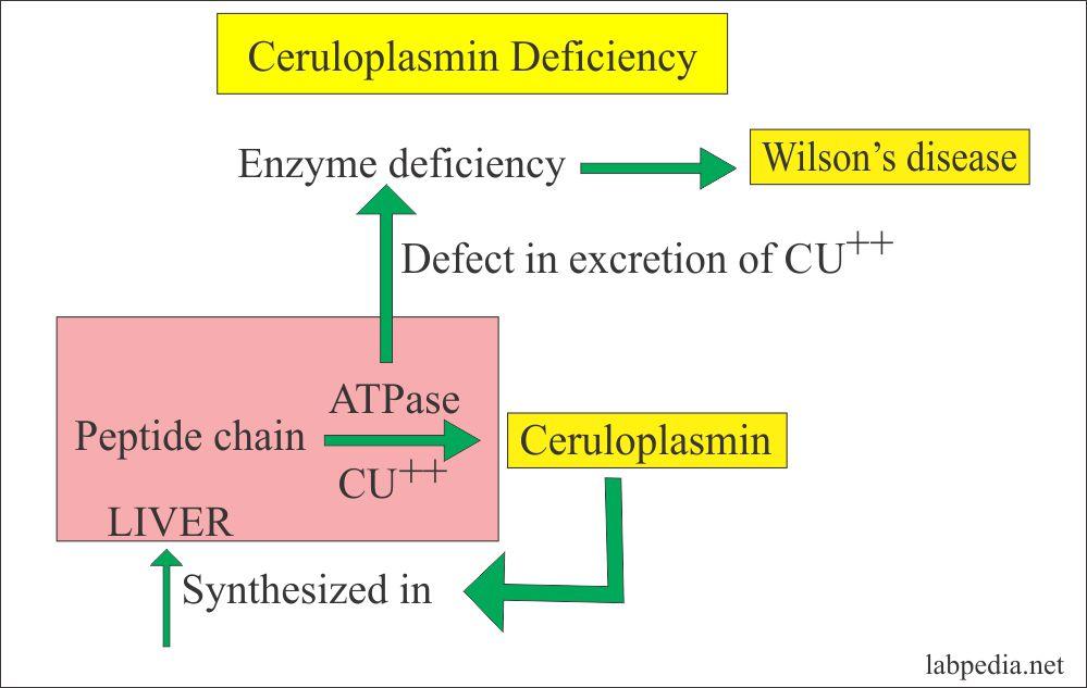 Acute Phase Protein – Part 2 – Ceruloplasmin