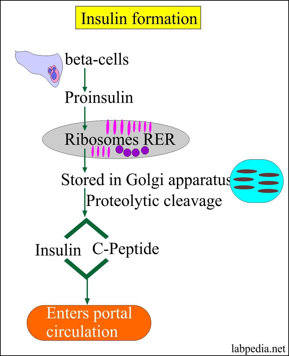 Mechanism of Insulin formation