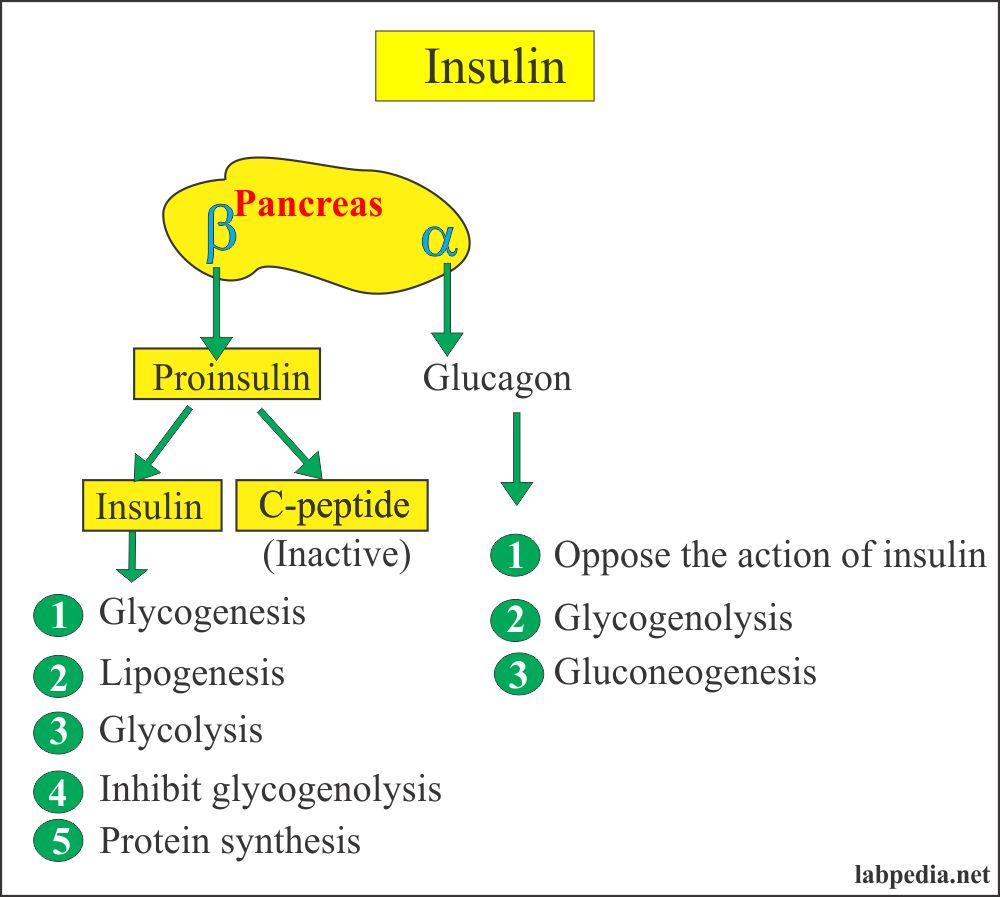 Insulin production from the pancreas