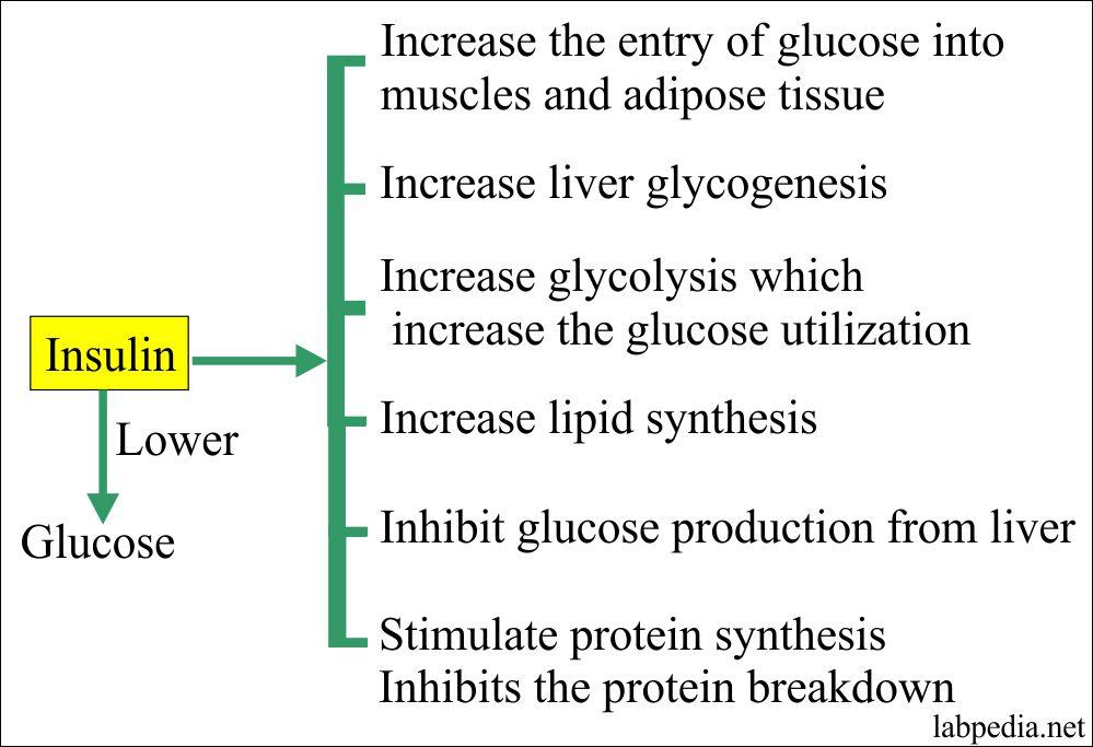 Insulin role in glucose metabolism