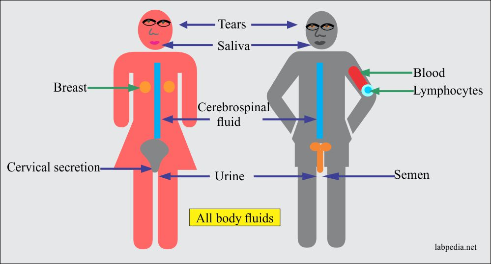 AIDS virus transmission in various body fluids