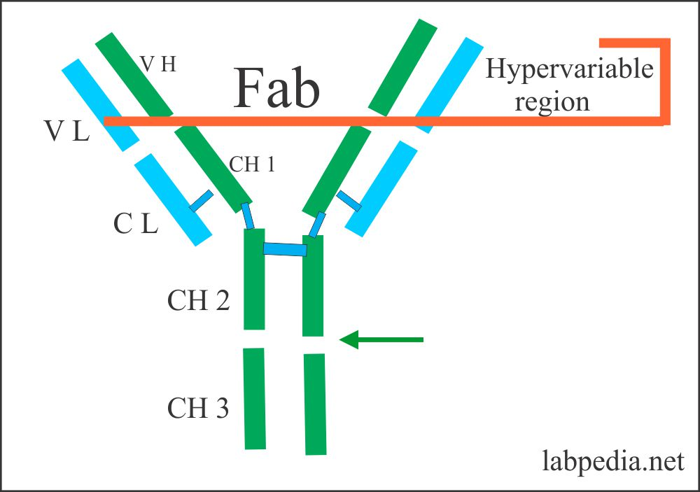 Hypervariable area called Fab portion
