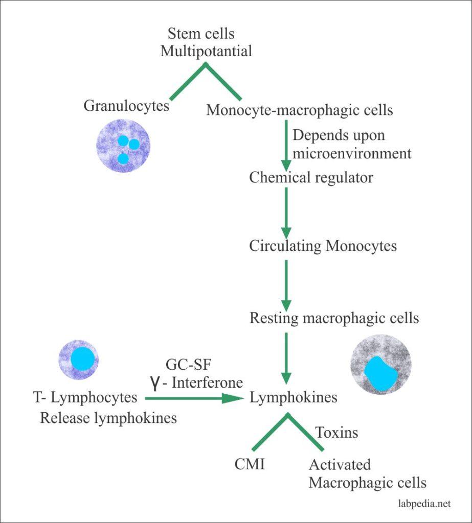 Development of Monocyte-macrophagic system
