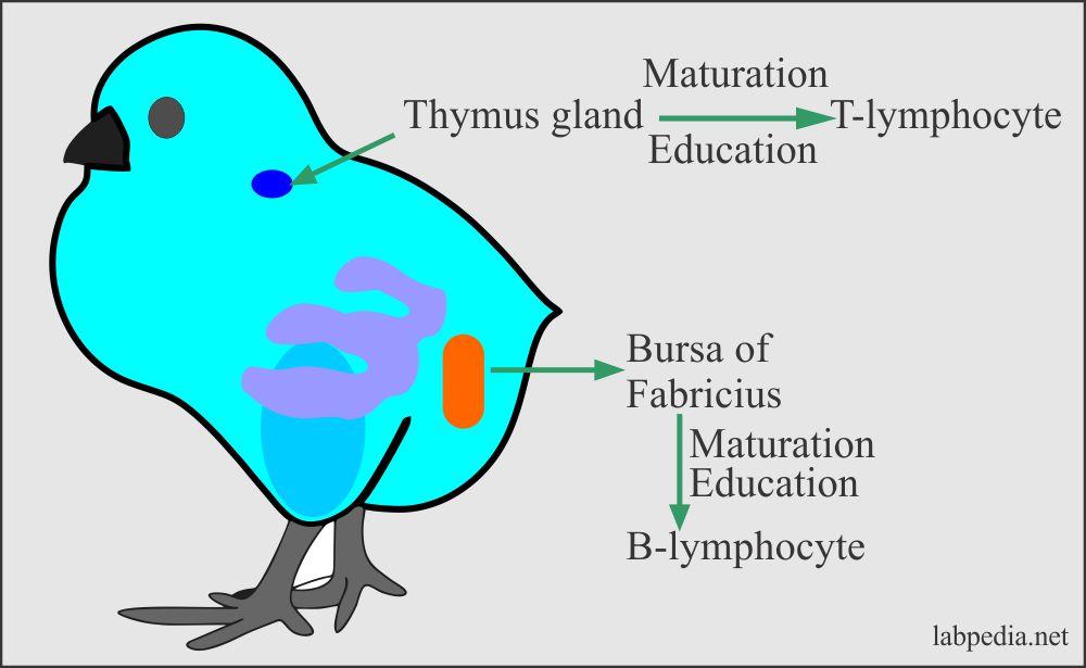 Chicken with presence of thymus gland and Bursa