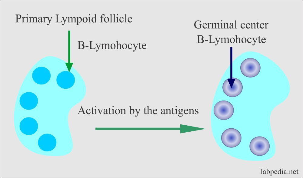 Lymph node activation and germinal centers