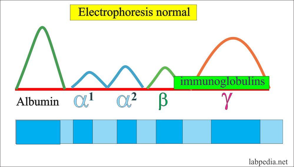 Electrophoresis normal