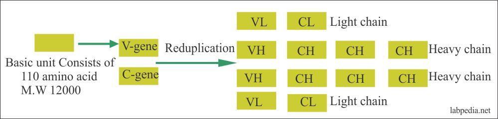 Fig 10 Evolution of immunoglobulin molecule