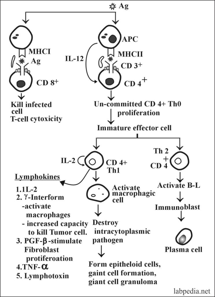 Chapter 14: Hypersensitivity Reaction Type IV, Cell Mediated Delayed Reaction