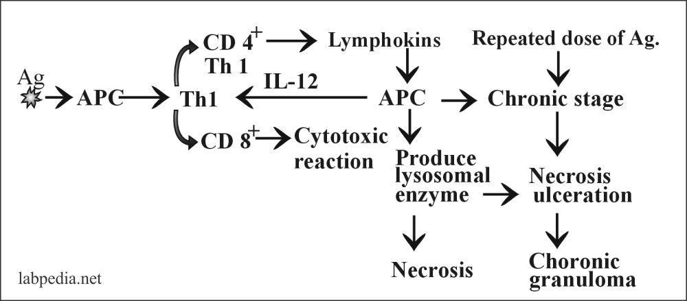Fig 112: Summary of Type IV Hypersensitivity Reaction