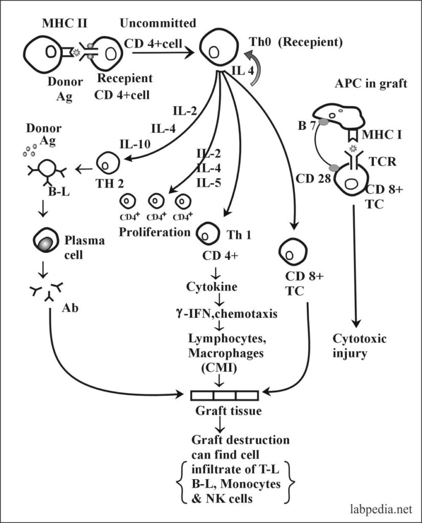Fig 116: T-Cell Mediated Rejection