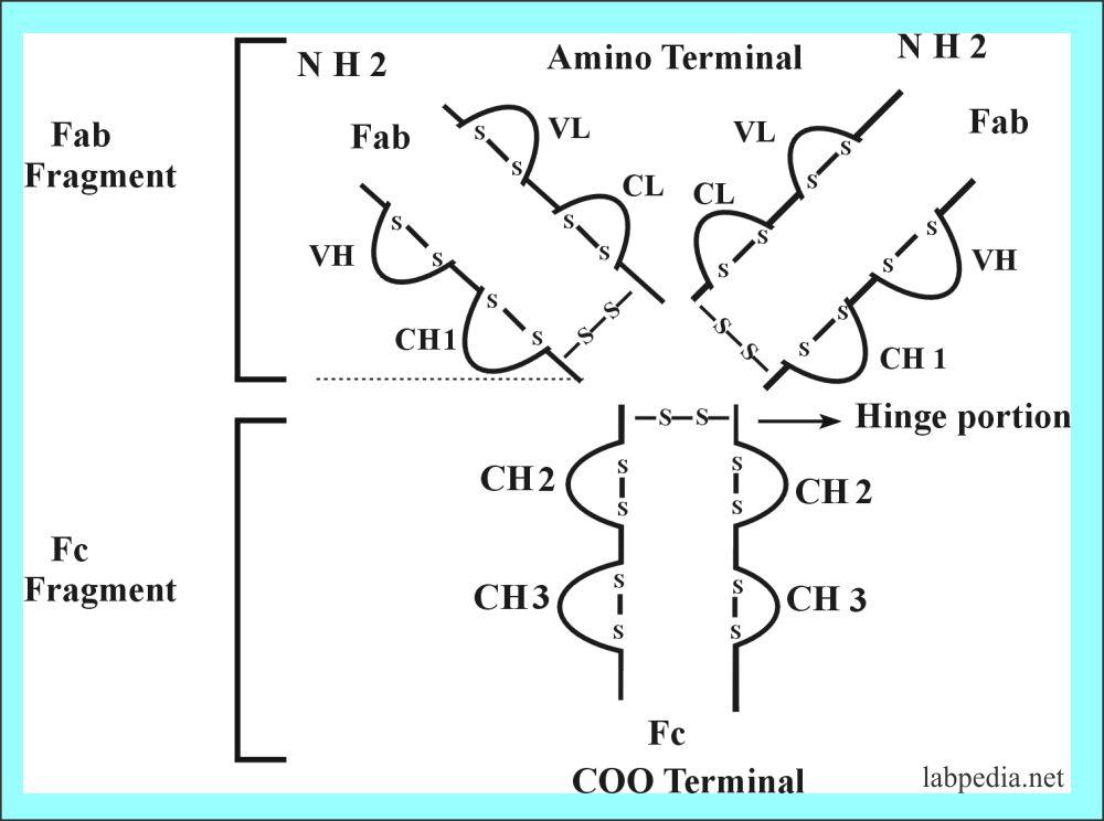 Structure of antobody