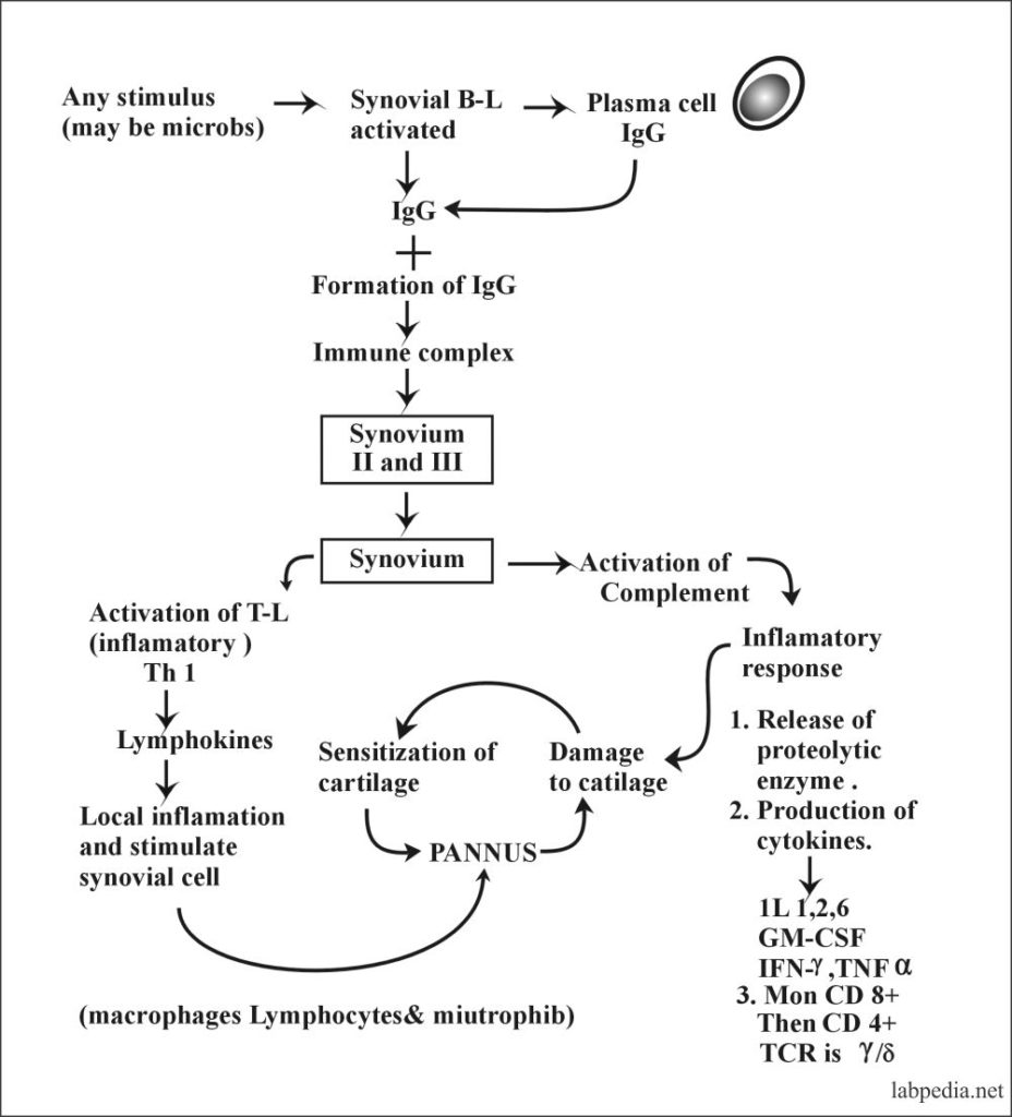 Fig 141: Mechanism of Injury in Rheumatoid Arthritis