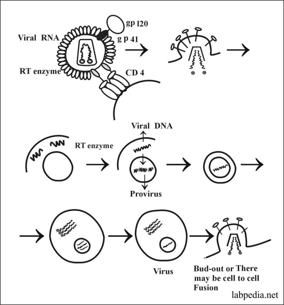 Fig 157: Life Cycle of HIV