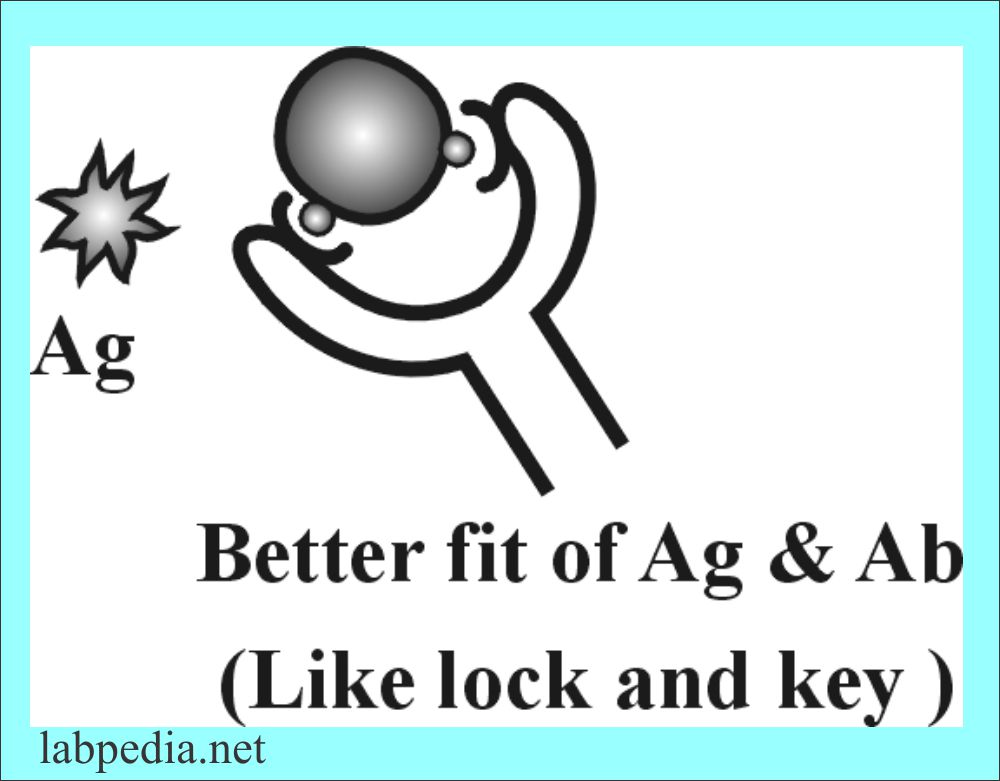 Better fit of the Antigen and Antibody like lock and Key