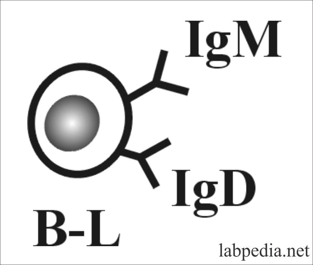 IgM as B-L receptor