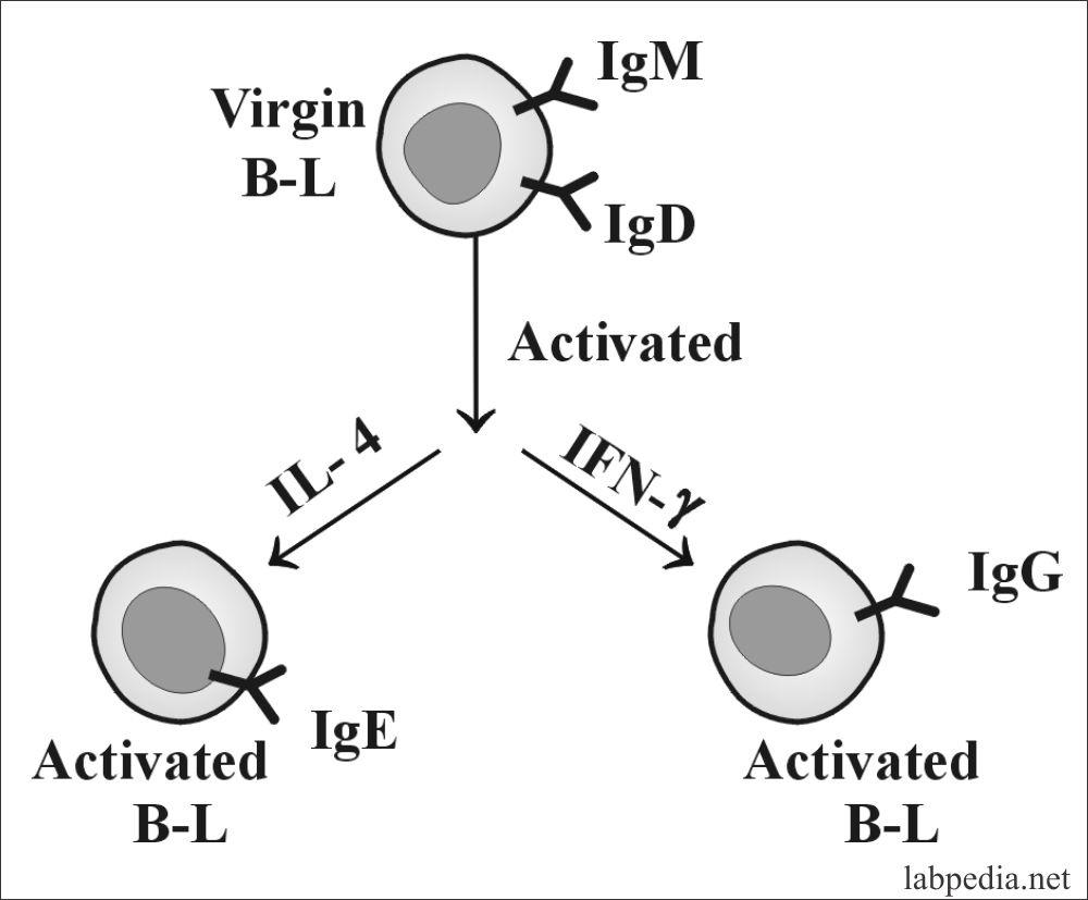 Fig 26 B-L response to polyclonal activation