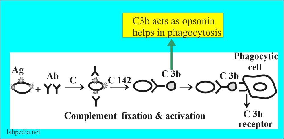 Phagocytosis by C3b (opsonin)