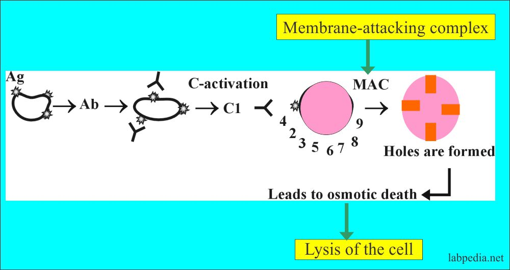 Lysis of the cell by MAC