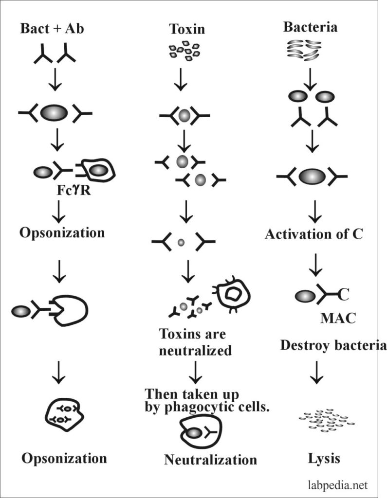 Chapter 6: Immunological (Antigen and Antibody) Reactions, Monoclonal Antibody