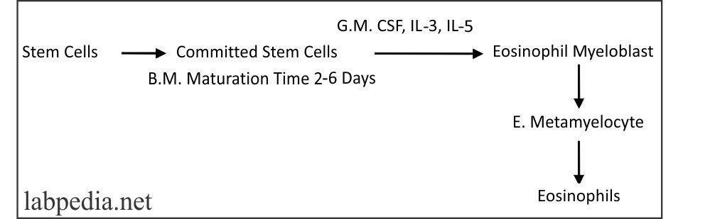 Fig 39: Development Eosinophils