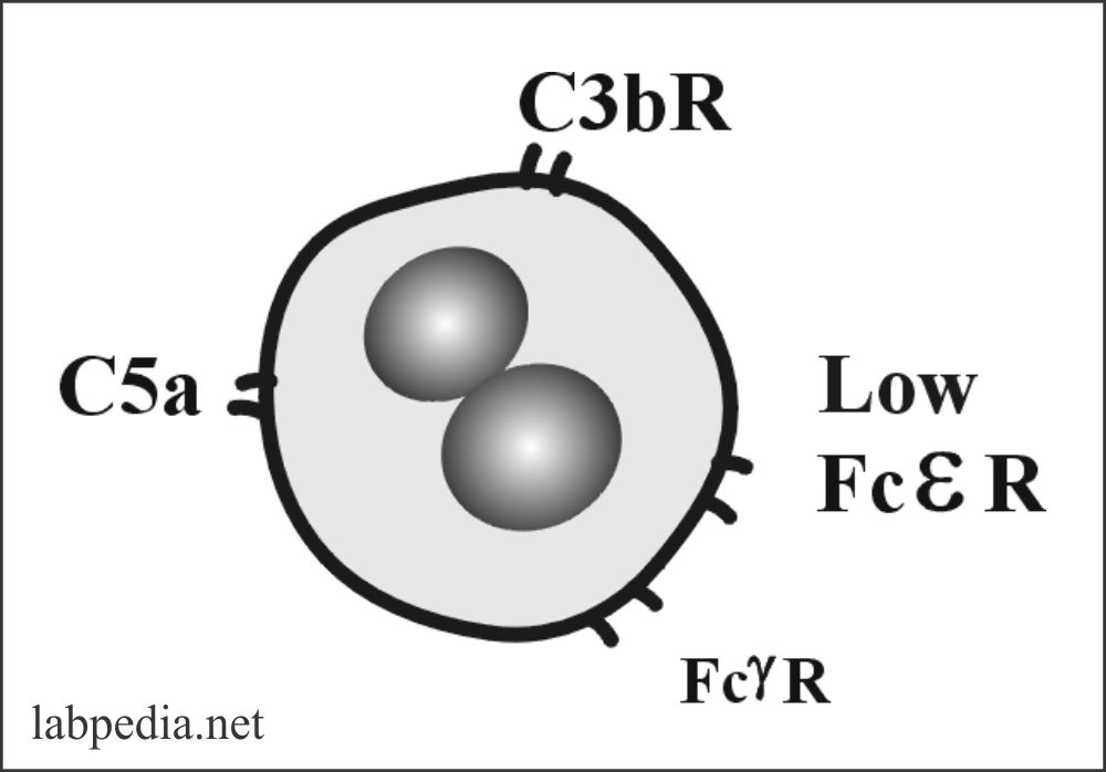 Fig 40: Eosinophil markers