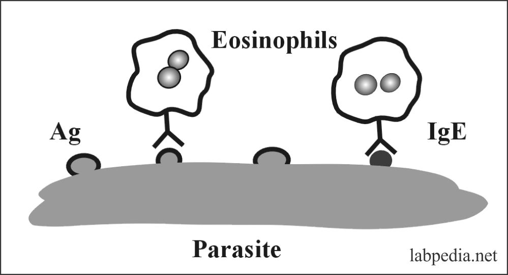 Fig 41: Destruction of Parasite by Eosinophils