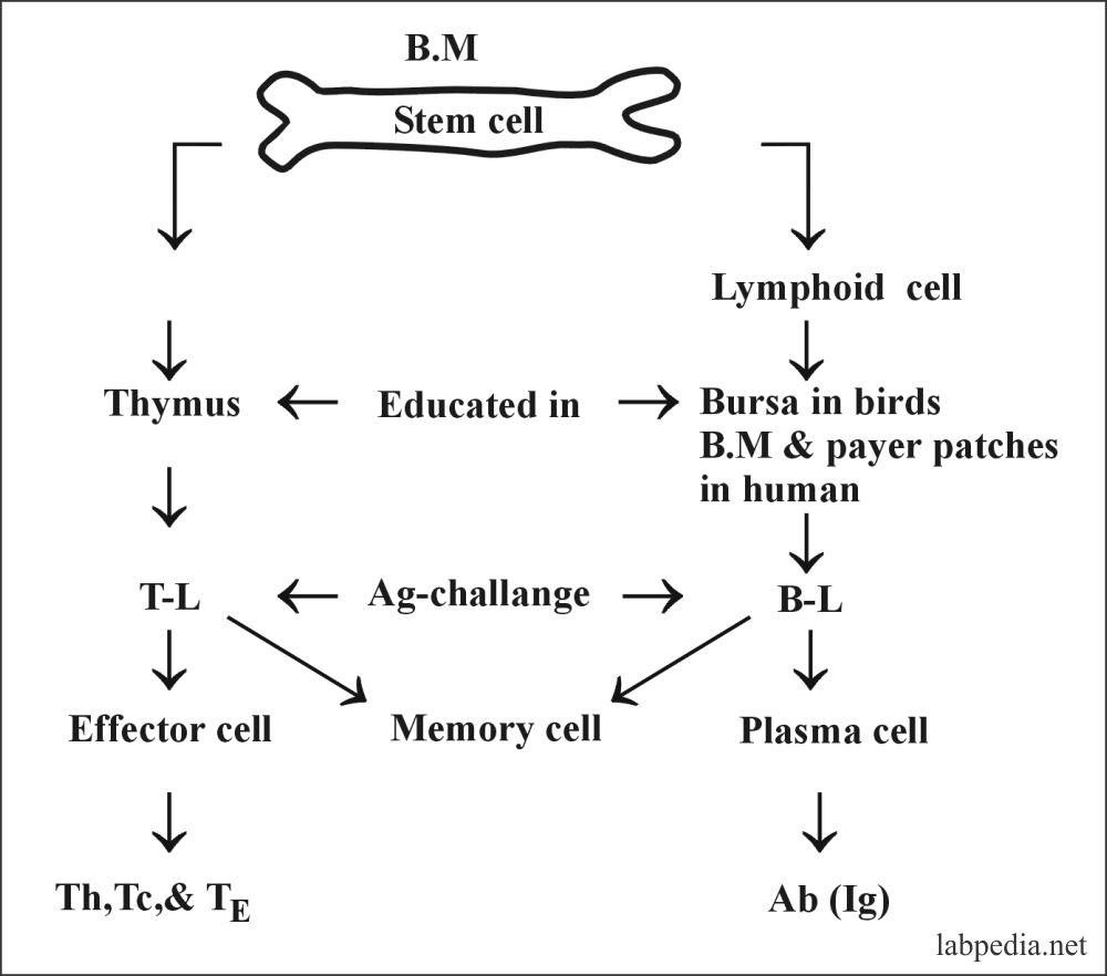 Fig 44: Development of B and T lymphocytes