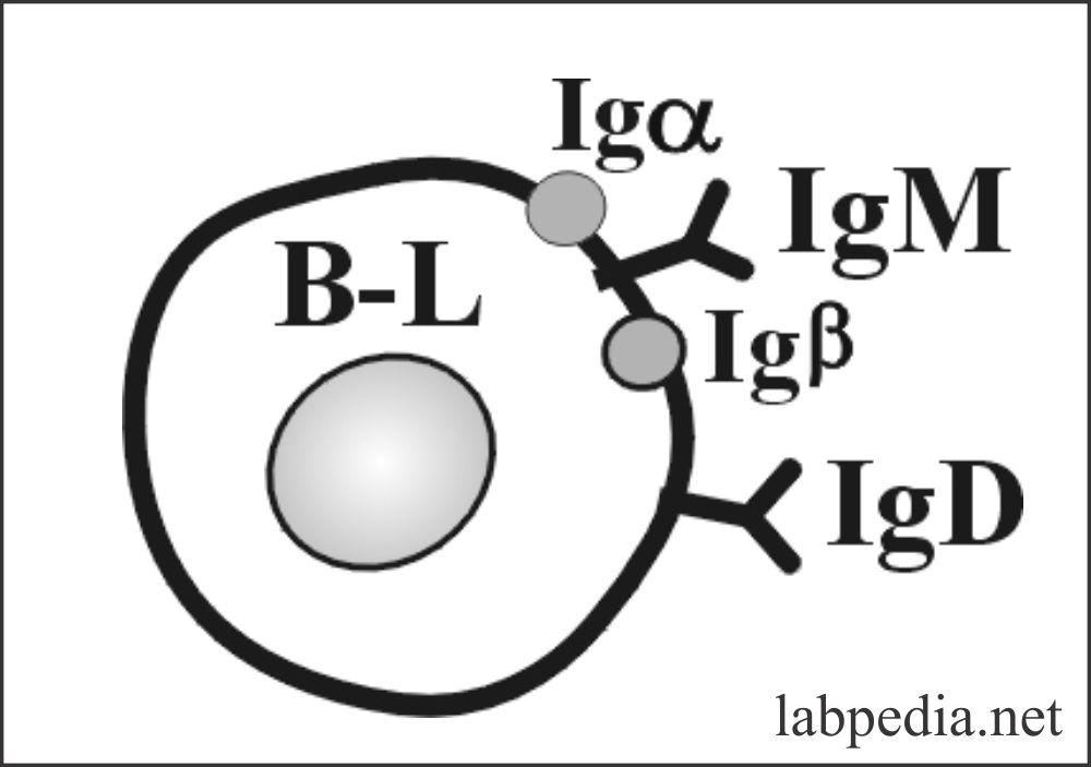 Fig 46: B-Lymphocyte BCR
