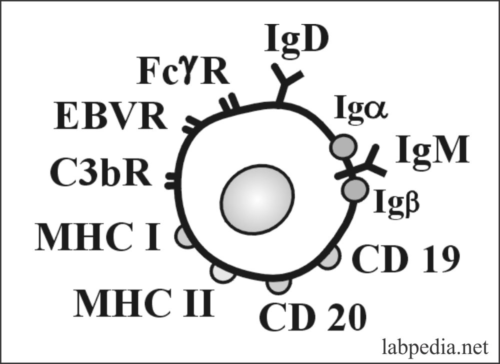 Fig 47: Markers of B-Lymphocyte