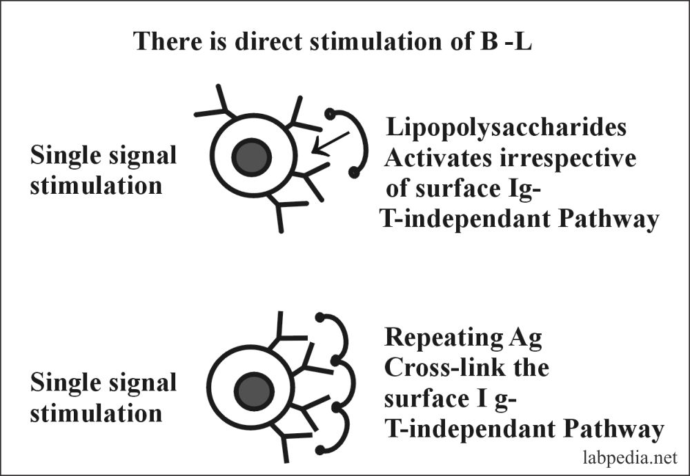 Fig 49: Single signal stimulation of B-Lymphocytes