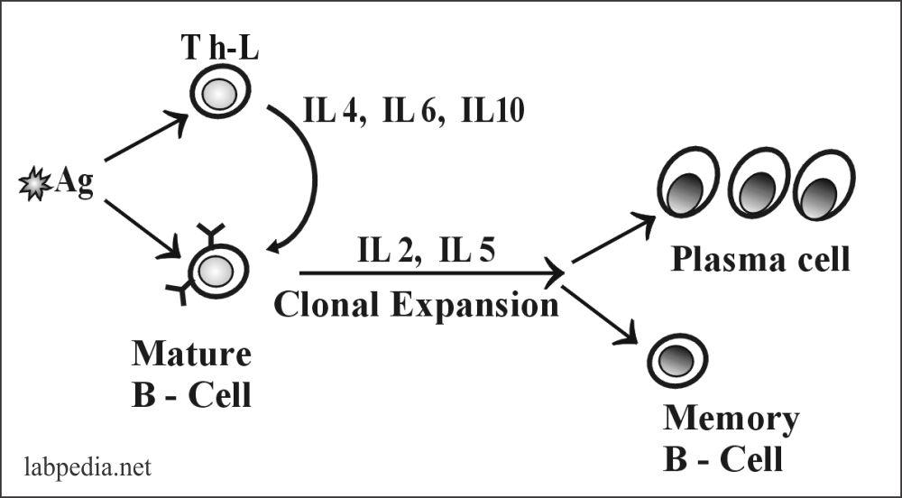 Fig 50: Two signal stimulation of B-Lymphocytes
