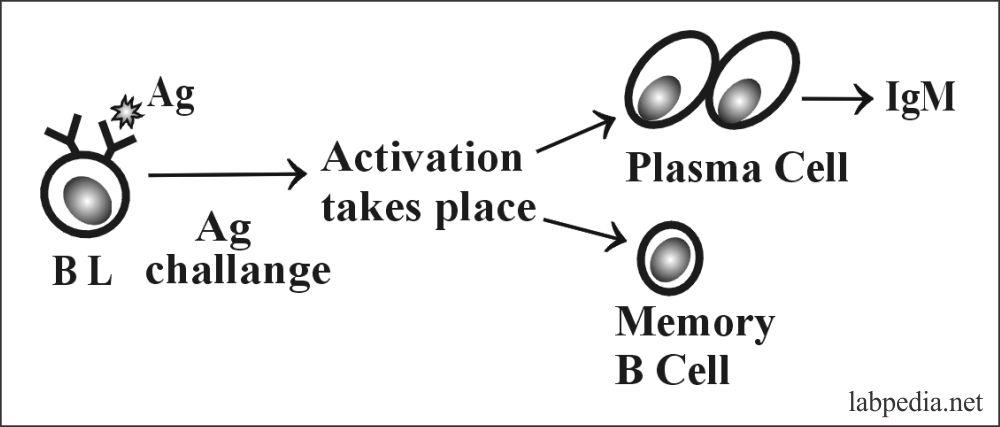 Fig 52: Result of B-Lymphocytes activation