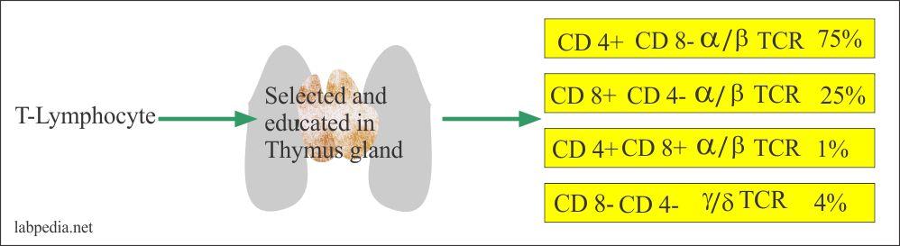 Fig 55: Types of T-Lymphocytes development