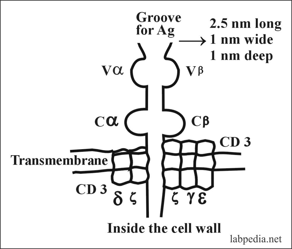 Fig 57: Structure of TCR