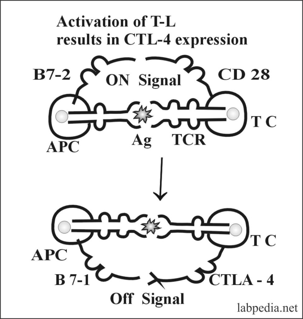 Fig 58: Role of B7 and CD 28 as a co-stimulatory Molecule