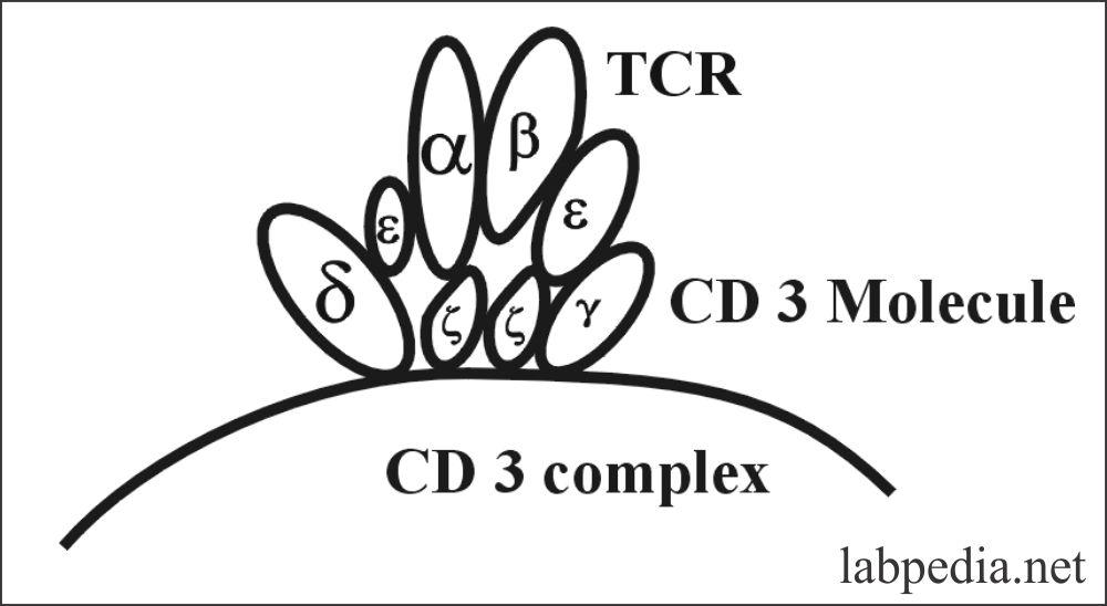 Fig 59: CD 3 molecule complex