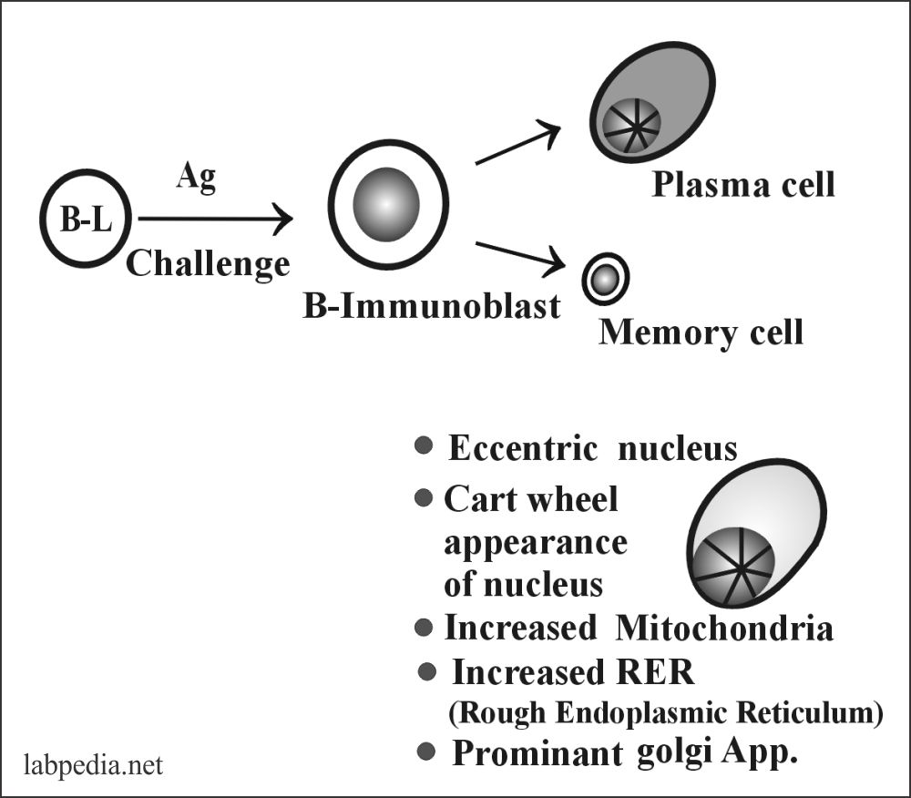 Fig 65: Structure of Plasma cell