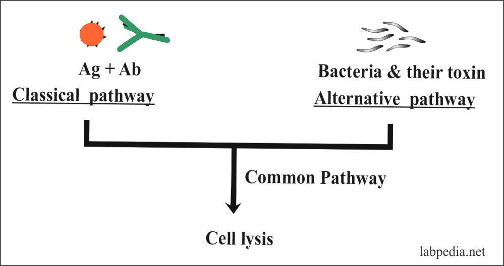Fig 68: Complement Pathways