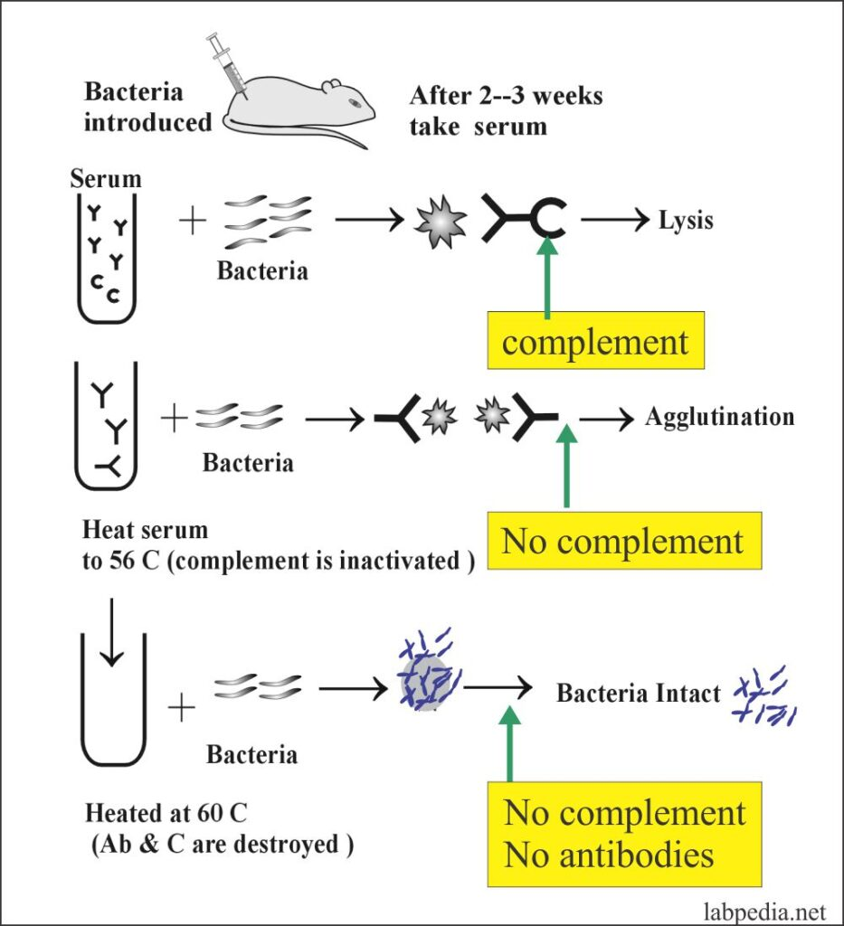 Fig 69: Role of Complement for Bacteriolysis and Agglutination