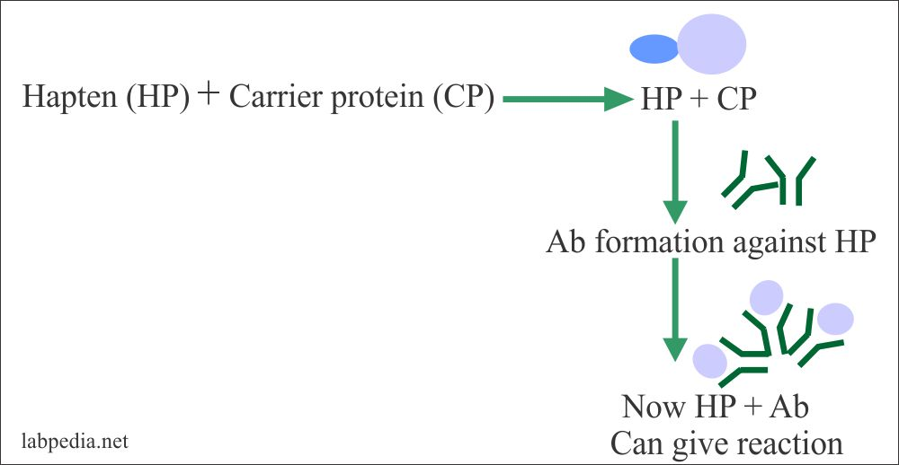 Hapten react with carrier protein and form Ab which reacts with haoten