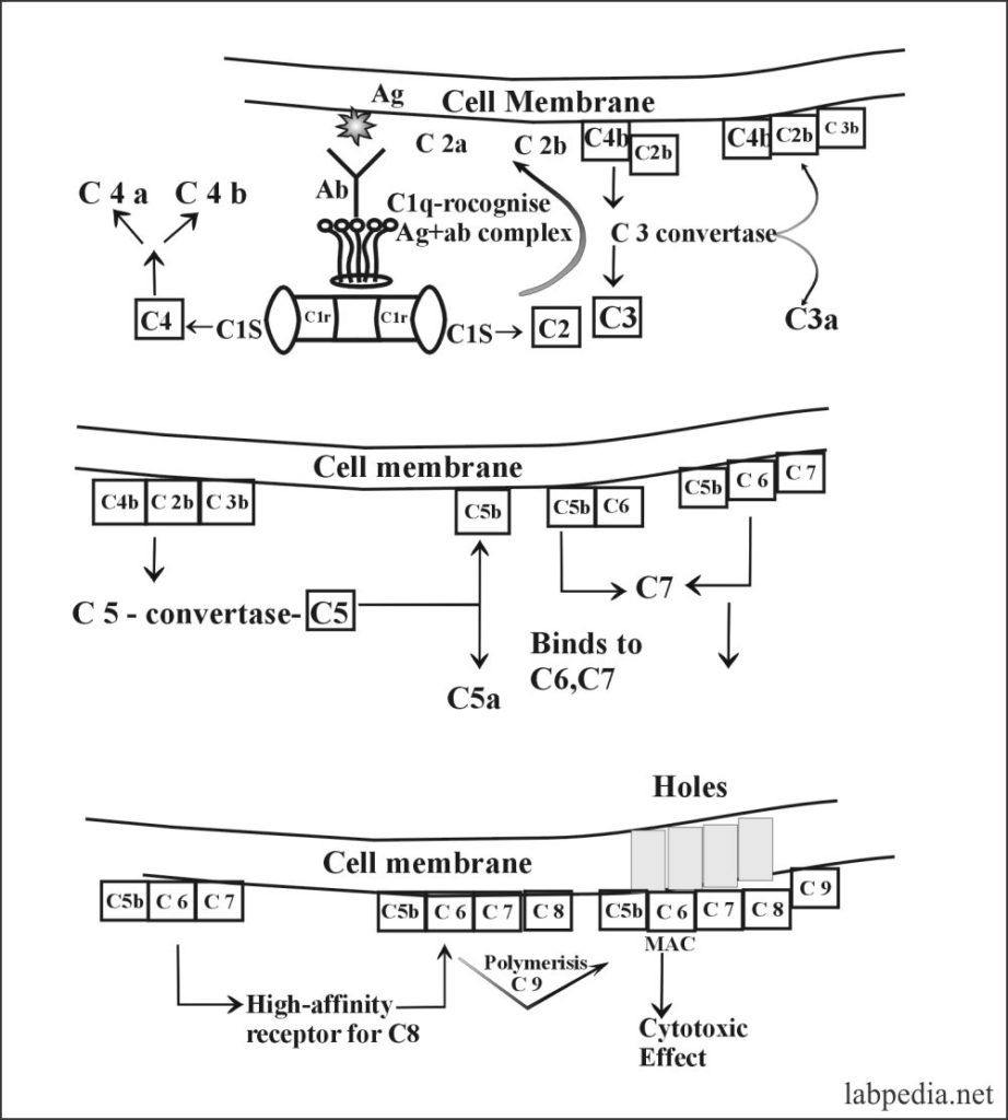 Fig 73: Classical pathway activation